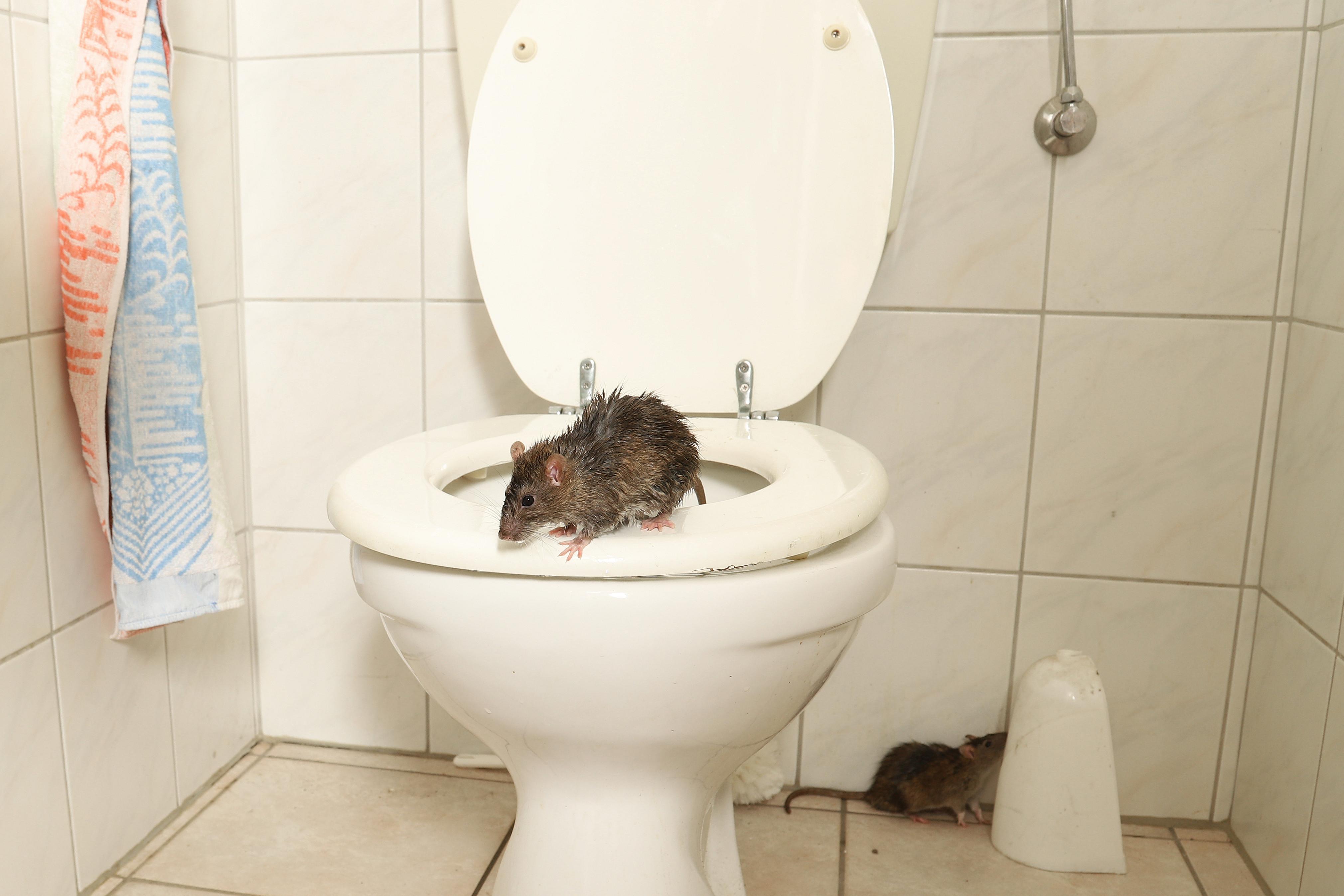 Rotte toilet